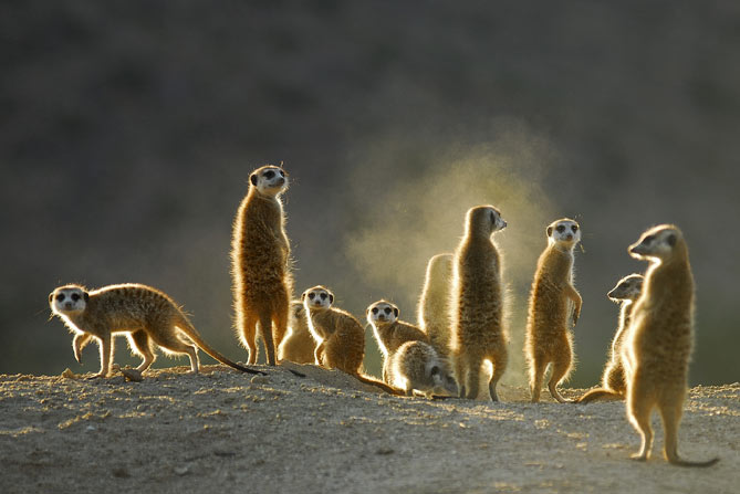 Les suricates du Botswana