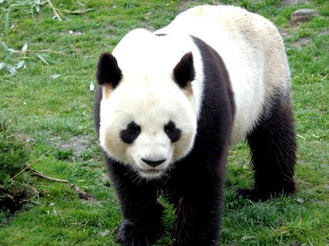 Panda dans le zoo de Beauval